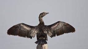 Pygmy Cormorant Wingspan Stock Image