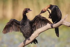 Pygmy cormorants Stock Images