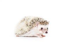 Pygmy Egel Royalty-vrije Stock Foto