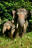 Pygmy Elephant Royalty Free Stock Photo