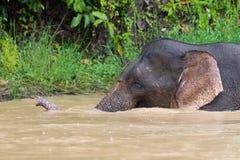 Pygmy elephant Royalty Free Stock Photo