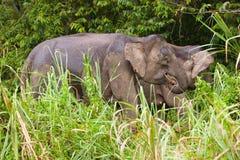 Pygmy elephant. Borneo Pygmy Elephant, Elephas maximus borneensis, Sabah, Malaysia Royalty Free Stock Photo
