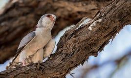 Pygmy_falcon fotografie stock libere da diritti