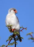 Pygmy Falcon Stock Image