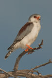Pygmy falcon. Fairly common resident.  Restricted to more arid regions.  Small.  White underparts Stock Photos