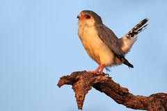 Pygmy falcon on a branch Stock Images