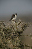 Pygmy falcon, Polihierax semitorquatus Royalty Free Stock Photos