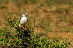 Pygmy Falcon Royalty Free Stock Image