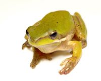 Pygmy frog on white Stock Image