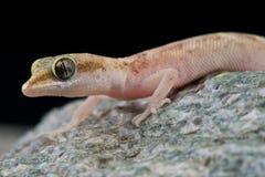 Pygmy gecko Stock Image
