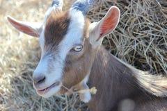 Pygmy Geit - 2 Stock Foto's