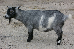 Pygmy Goat 01. A small pygmy goat Royalty Free Stock Images