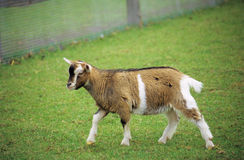 Pygmy Goat Stock Photography