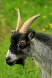 A Pygmy Goat Stock Image