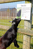 Pygmy goat. Biting the sign Royalty Free Stock Photography