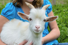Pygmy Goat Royalty Free Stock Photography