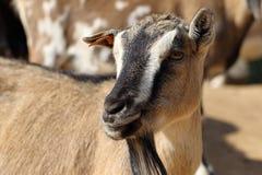 Pygmy goat Stock Photos