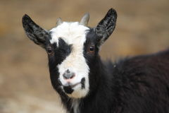 Pygmy goat. The detail of pygmy goat Royalty Free Stock Photos