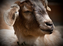 Pygmy Goat. Closeup portrait of the face of a pygmy goat Stock Photos