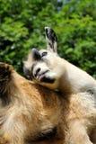 Pygmy Goat Bathing Stock Image