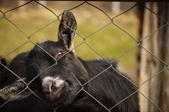 Pygmy goat Royalty Free Stock Photos