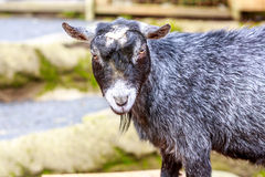 Pygmy Goat Royalty Free Stock Images