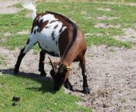 Pygmy goat Royalty Free Stock Photo