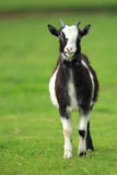 Pygmy goat Stock Photo