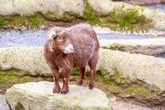 Pygmy Goat Royalty Free Stock Photography