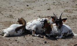 Pygmy goat Royalty Free Stock Images