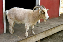 'Pygmy Goat'Capra hicus. Stands on his porch of his house royalty free stock photography