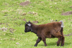Pygmy goat Stock Photos
