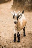 Pygmy Goat on farm Stock Photos