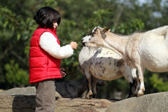 Pygmy goat and girl Stock Photography