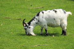 Pygmy goat. On the grass Stock Image