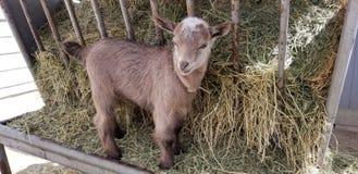 Pygmy goat kid munching on straw - Baby Goat - Capra aegagrus hircus. Very young baby pygmy goat kid munching on straw. The domestic goat or simply goat Capra stock photos