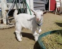 Pygmy goat kid munching on straw - Baby Goat - Capra aegagrus hircus. Very young baby pygmy goat kid munching on straw. The domestic goat or simply goat Capra royalty free stock image