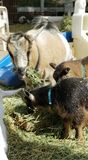 Pygmy goat kid munching on straw - Baby Goat - Capra aegagrus hircus. Very young baby pygmy goat kids with their mothers munching on straw. The domestic goat or stock image