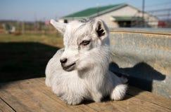 Pygmy goat kid Stock Photo
