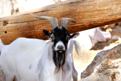 A pygmy goat looking towards camera Stock Photography