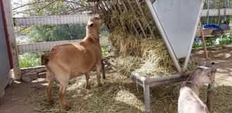 Pygmy goat mother in the barnyard - Capra aegagrus hircus. Mother pygmy goat watches over her kids in the barn yard. The domestic goat or simply goat Capra royalty free stock photo