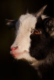 Pygmy Goat's Face On Dark Background Royalty Free Stock Photo