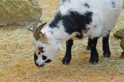 Pygmy goat Stock Image