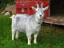 Pygmy Goat Royalty Free Stock Photo