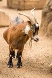 Pygmy Goat Stock Images
