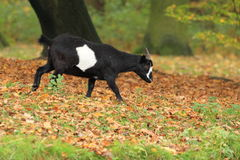 Pygmy goat Royalty Free Stock Image