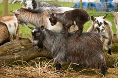 Pygmy goats. Adult pygmy goats with a kid riding on the back Stock Photo