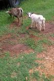 Pygmy Goats. The pygmy goat is a breed of miniature domestic goat. They can be used for many different things and that is why they are strictly classified as a Stock Image