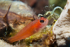 Pygmy goby Stock Images