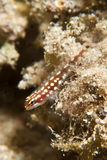 Pygmy goby Stock Photography